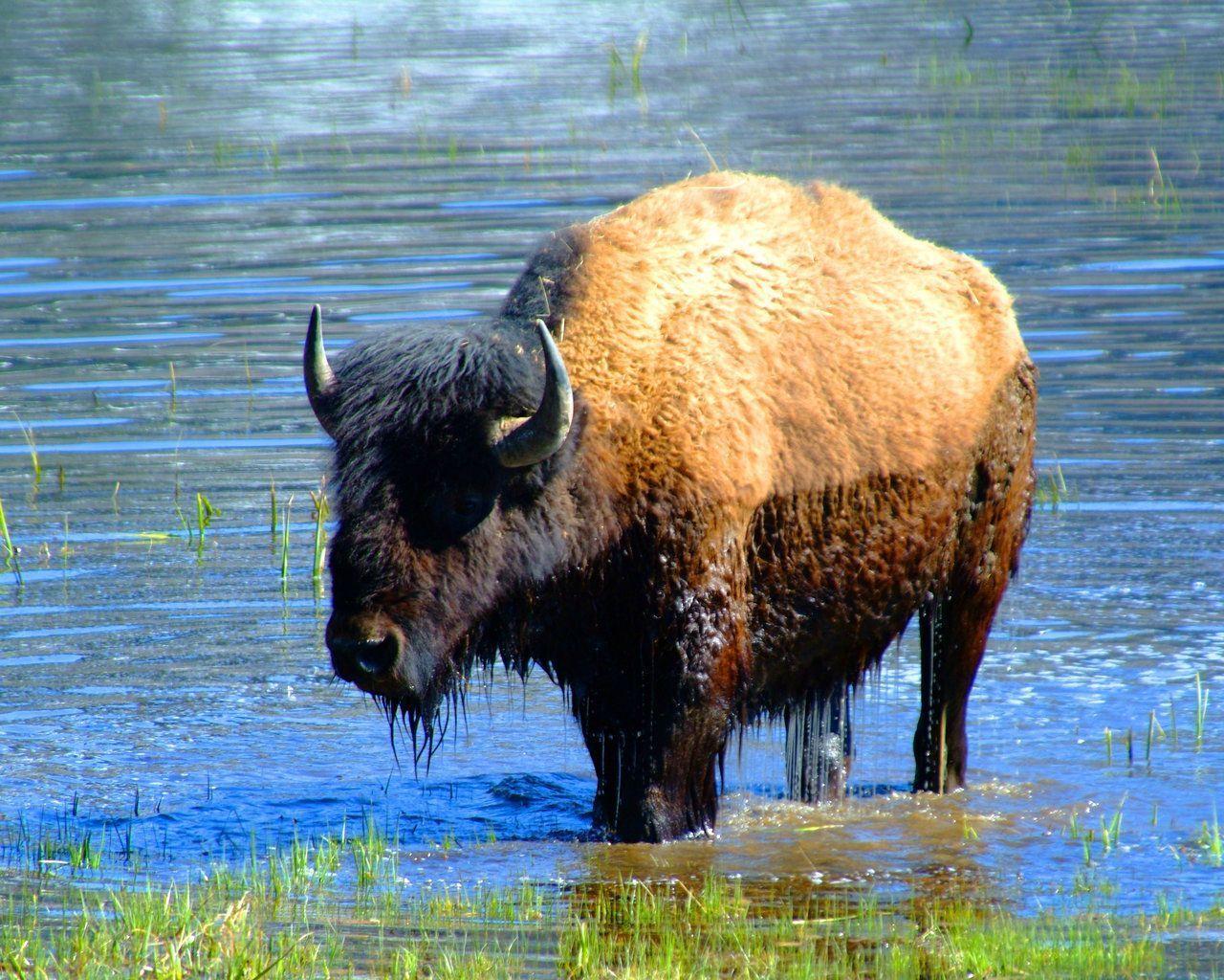 Le bison - Coloriage bison d amerique ...